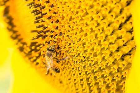 Close-up Bee on sunflower