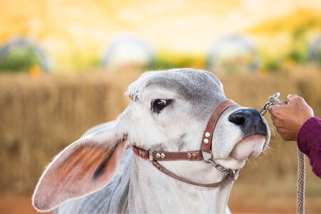brahman: Beef cattle judging contest