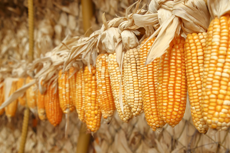 hung: Dried corn on cobs hung