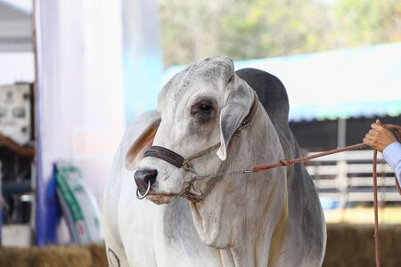 judging: Beef cattle judging contest