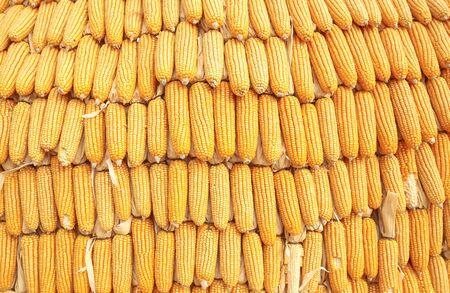 Maïs séché sur cobs accroché Banque d'images - 62157519