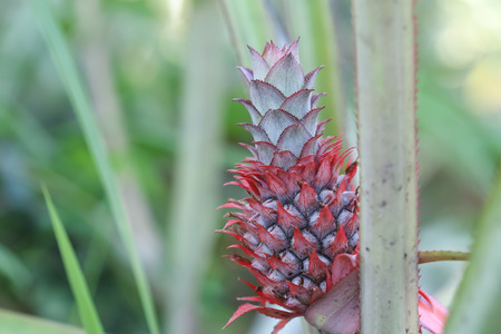 pineapple plant growing