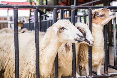 Les moutons sont en attente pour l'alimentation de la clôture Banque d'images - 62157499