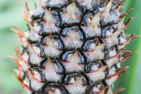 Close up pineapple plant growing