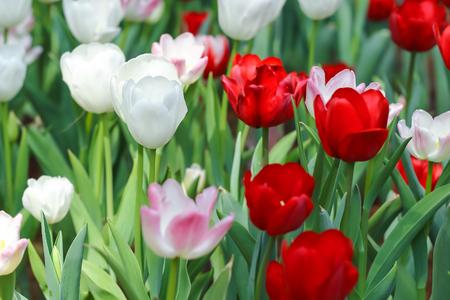 Belles tulipes fleurissent dans le jardin Banque d'images - 62157388