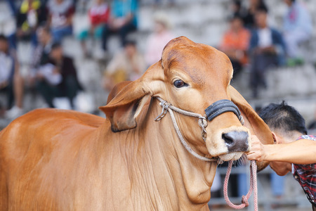 brahman: Beef cattle judging contest, Close up American Brahman brown Stock Photo