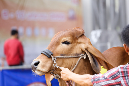judging: Beef cattle judging contest, Close up American Brahman brown Stock Photo