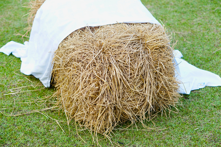 dry cow: Pile of straw hay by product from rice field with white fabric on top.