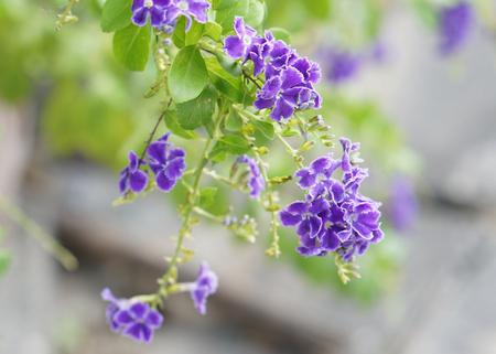 Violet flower, Golden Dew Drop, Duranta erecta on nature background.