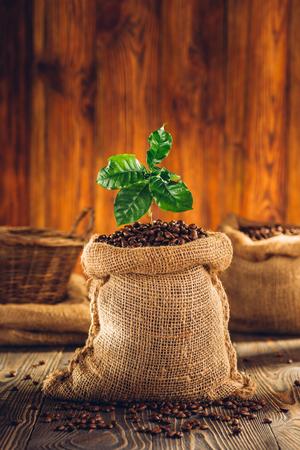 planta de cafe: La bolsa de planta de café y café asado en la mesa de madera. Foto de archivo