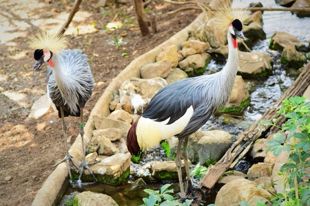 crowned crane: Two Grey crowned crane Stock Photo