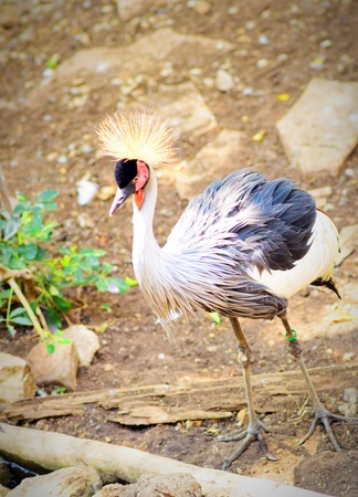 standing alone: Grey crowned crane standing alone Stock Photo