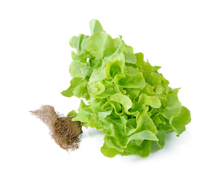vibrat color: Fresh green Lettuce salad isolated on white
