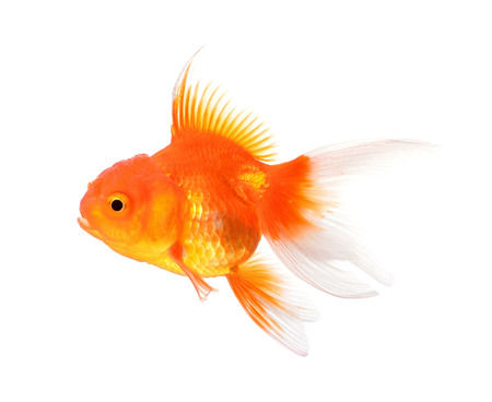 ichthyology: Gold fish isolated on a white background.