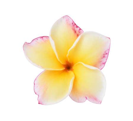 Frangipani flower isolated on white background photo