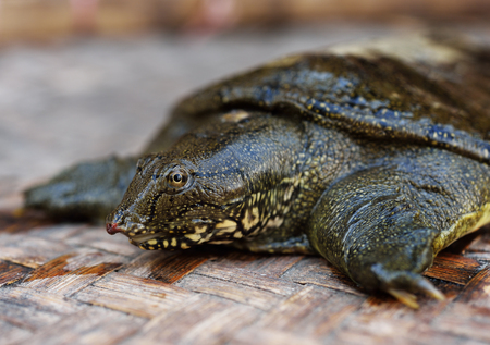 freshwater turtle: snapping turtle Stock Photo