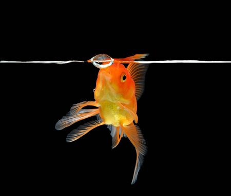 gold fish isolated on black background photo