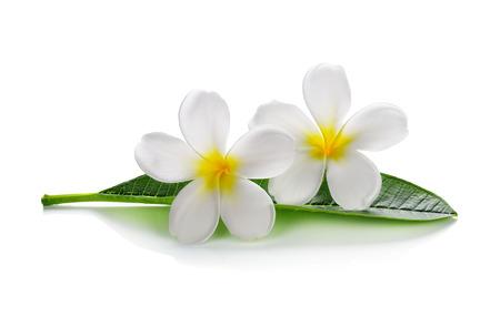 화이트 절연 잎 프랜지 페니 꽃 스톡 콘텐츠
