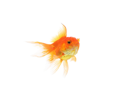 gold fish: Gold fish isolated on a white background.