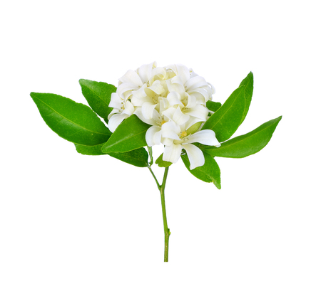 jessamine: White flower, Orange Jessamine (Murraya paniculata) or China Box Tree, Andaman Satinwood, isolated on a white backgroun