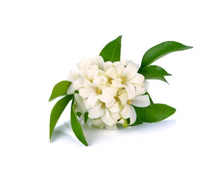jessamine: White flower, Orange Jessamine (Murraya paniculata) or China Box Tree, Andaman Satinwood