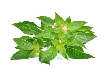 tulasi: basil leaves isolated on white background Stock Photo