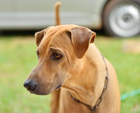 cur: Thai dog