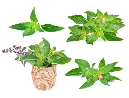 tulasi: basil leaves isolated on white background Stock Photo