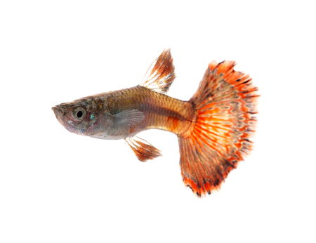 fish isolated: Guppy fish isolated on white background