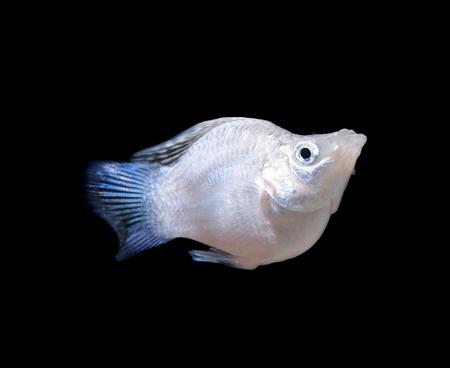 poecilia: Balloon Silver Molly fish on black Stock Photo
