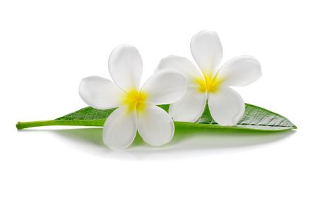tonga: Tropical flowers frangipani (plumeria) isolated on white background