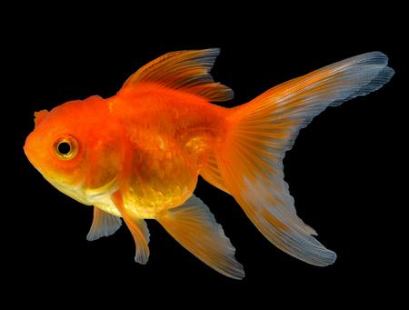 gouden vis geïsoleerd op zwarte achtergrond