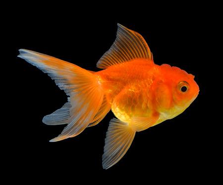 Goldfisch auf schwarzem Hintergrund isoliert