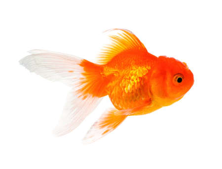 Gold Fish Isolated on White Background 写真素材