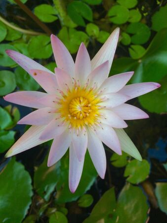 Close up pink lotus Stock Photo