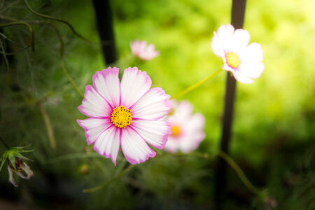 pink daisy: Little pink daisy vibrant color