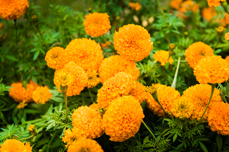 bracing: Marigold flower in the garden Thailand