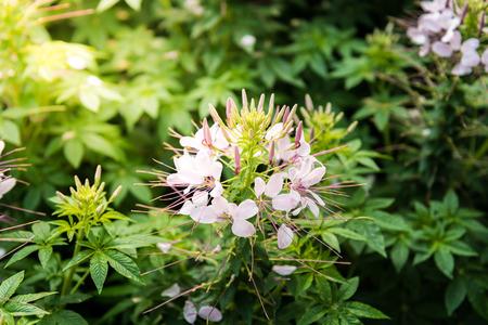 plants species: Fiore Cleome. Specie di Cleome sono comunemente noti come ragno fiori, piante ragno, ragno, erbacce o piante ape