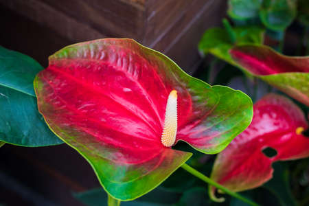 spadix: red Spadix Flower in the garden Stock Photo