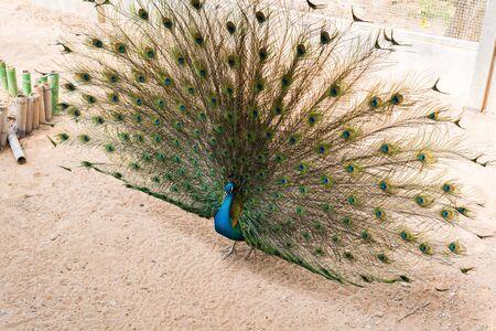 plummage: Hermoso pavo real indio con plenamente avivado cola
