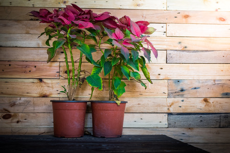 christmas flower: wood texture background and Christmas Flower in flowerpot