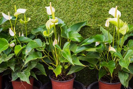 spadix: white Spadix Flower in the flowerpot Stock Photo
