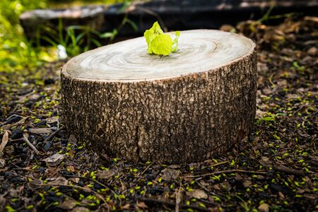 Green leaves with wood stump. New development and renewal as a business concept Stock Photo