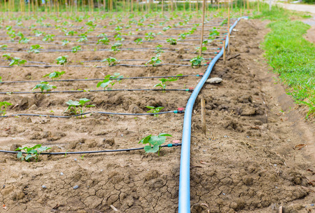 cucumber field growing with drip irrigation system in the countryside Foto de archivo