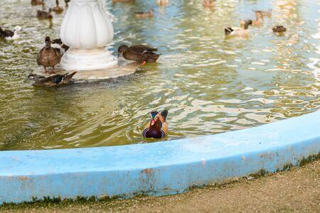 aix galericulata: male mandarin duck (Aix galericulata) swimming