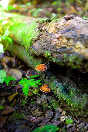 bark rain tree: Mushrooms on a timber in nature , Mushroom forest . Stock Photo