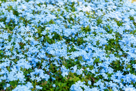 tropical shrub: Closeup of the plan Plumbago Auriculata, widely known as Plumbago Capensis. Other common names: Cape Plumbago, Cape Leadwort, and Blue Plumbago. Tropical, evergreen, flowering shrub