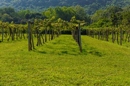 ratchasima: Vineyard Sunrise at Nakhon Ratchasima Province, Thailand.