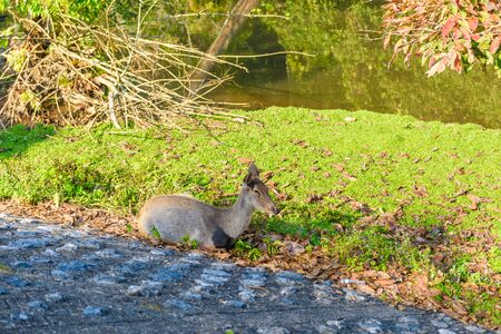 capreolus: female deer during fall in the forest Stock Photo