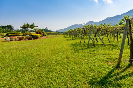 nakhon: Vineyard Sunrise at Nakhon Ratchasima Province, Thailand.